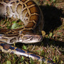 Missing 14-foot-long pet python sought in Indianapolis area