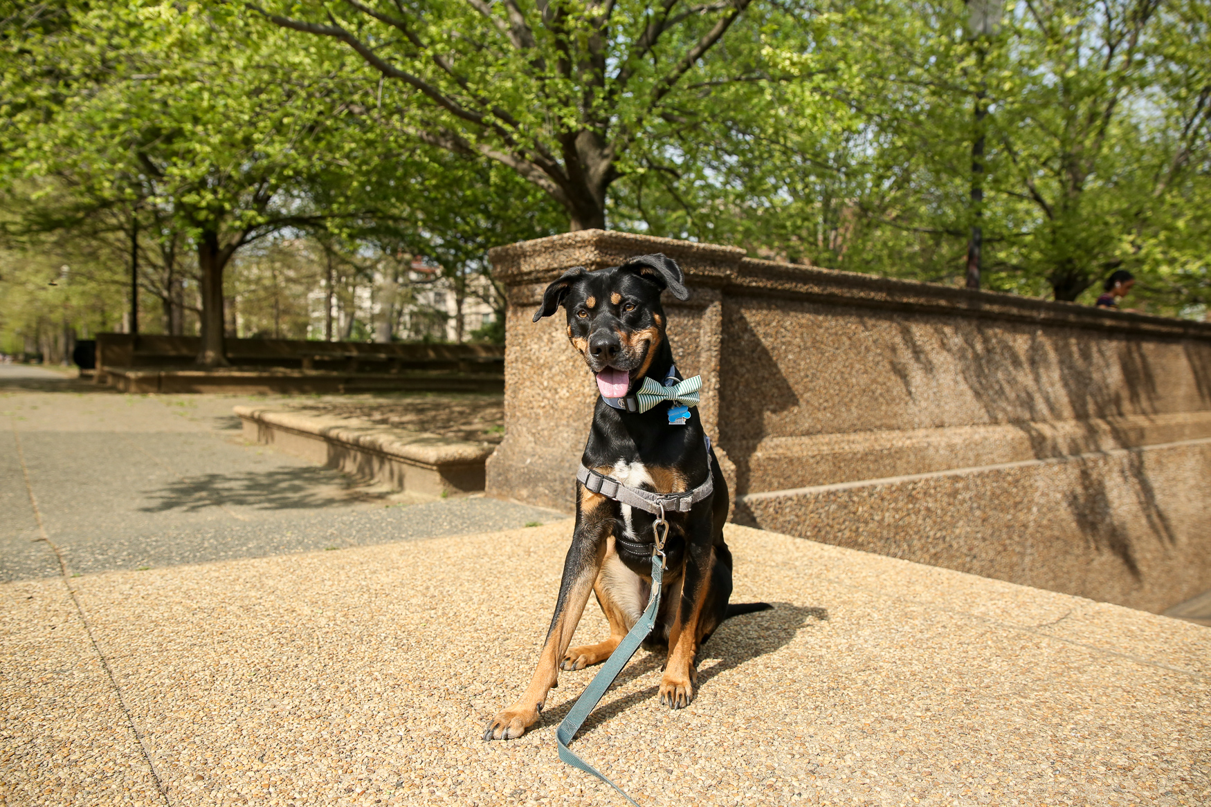 Meet Marcus Paige, a 2.5-year-old Greek Harehound who was actually born in Greece! Marcus Paige's mom so badly wanted a dog that when she started looking at condos she would only consider dog-friendly options, and when she finally closed on a condo in January 2017, her realtor gifted her with a dog bowl engraved with the name of her future pup, Marcus Paige (named for a former University of North Carolina basketball player), even though she didn't have the dog yet! Mom and pup finally found one another in the spring of 2017 thanks to the rescue group Homeward Trails and an Arlington couple who runs a Bicycle tour business leading bike tours all over the world, who rescued him from his life as a stray in Greece and brought him back to the states. His mom met and adopted him just a few days later. She has stayed in touch with the couple who saved him, and will now be paying it forward and serving as a dog flight escort on the way home from her vacation to Colombia. Marcus Paige is very attached to one specific ball -- a red and blue version of a Kong toy -- and has no interest in any other balls. He loves other dogs, and will sit down on the sidewalk when he sees one approaching and wait to greet it. He loves walks and rolling in the grass, but he is not a fan of sirens or rain If you're interested in having your pup featured, drop us a line at aandrade@dcrefined.com, but we do have quite the waiting list right now so we appreciate your patience! (Image: Amanda Andrade-Rhoades/DC Refined)