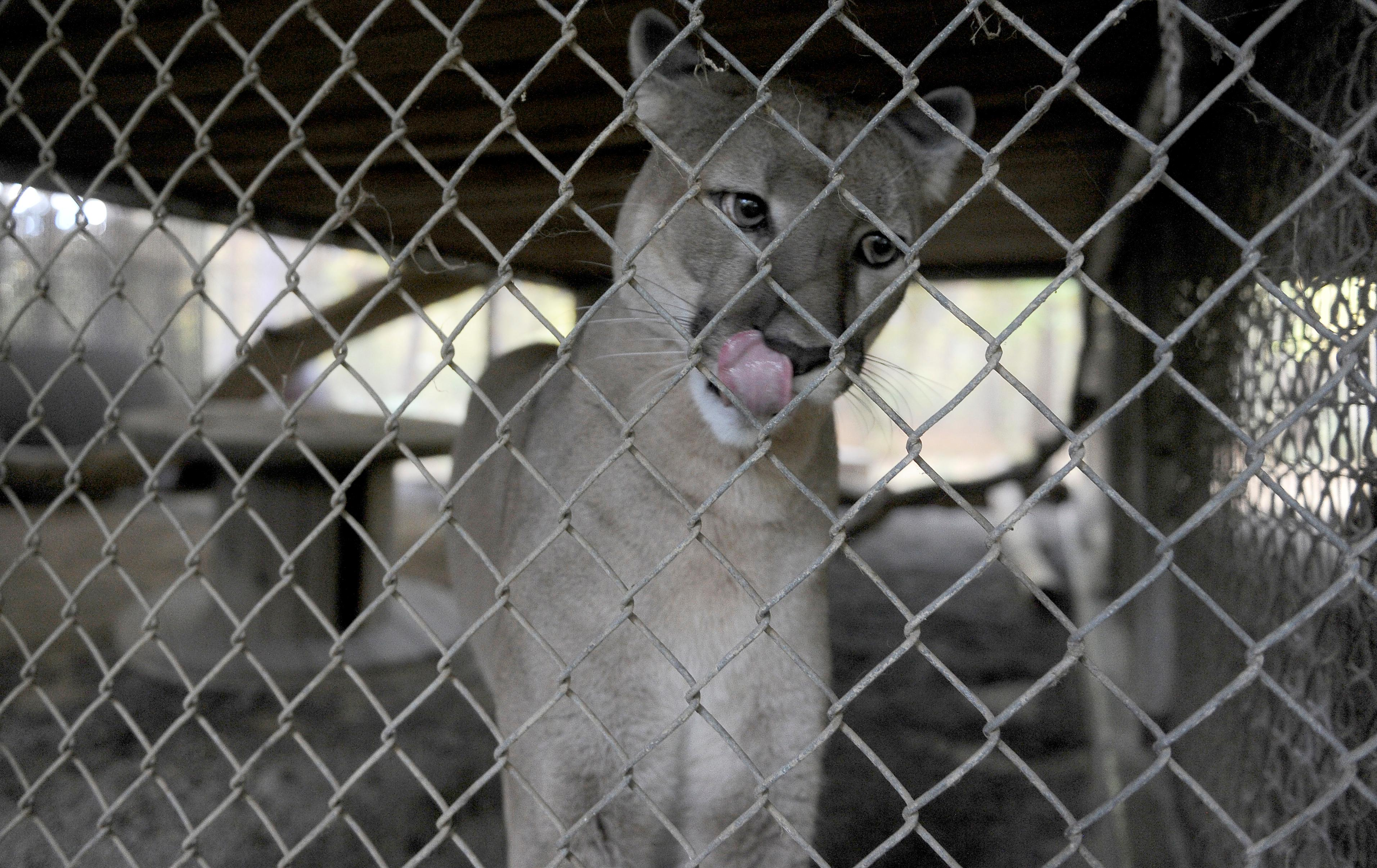 Andy Atkinson / Mail Tribune{ } Brady the cougar at Wildlife Images.