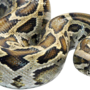 Tally reaches 500 in Florida Everglades Burmese python hunt