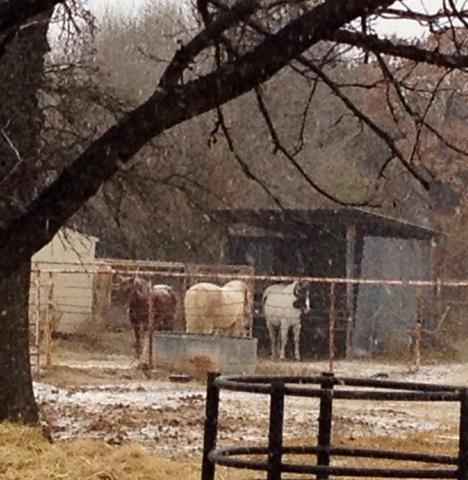 Horses brave the cold and snow near Midwest City at 1:30 on Thursday