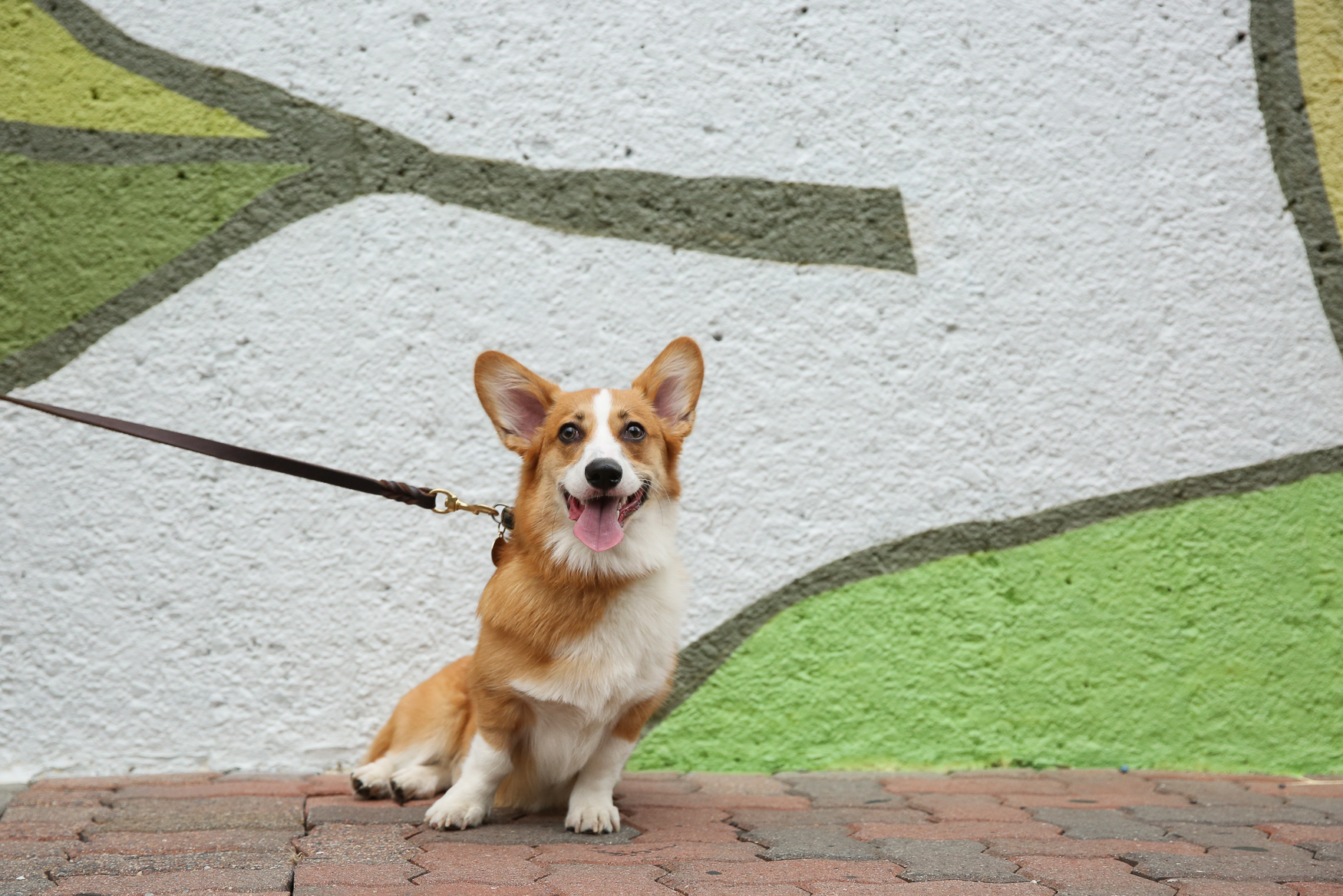 "Meet Gumbo, a 9-month-old Pembroke Welsh Corgi who came to his family from a championship breeder in Fairfax. His life motto is ""chasing balls and breaking hearts in the DMV."" Gumbo LOVES finding sticks to bring in as trophies from his walks, is great at playing fetch and excellent at catching his toys in mid-air. One of his pawrents' favorite memories with Gumbo was his first beach trip. They expected he would be cautious of the water and instead he jumped right in and rode the waves! You can follow Gumbo's adventures on his Instagram account: @therealgumbo. If you're interested in having your pup featured, drop us a line at aandrade@dcrefined.com (Amanda Andrade-Rhoades/DC Refined)"
