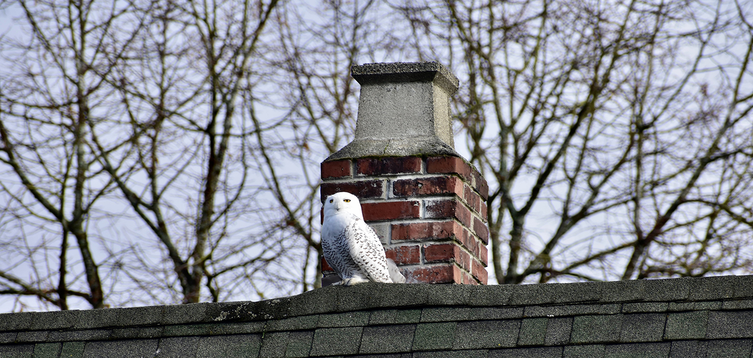 <p>Residents of Seattle's Queen Anne neighborhood have a new, exciting neighbor! A snowy owl (extremely rare for the PNW) has taken up residence in the neighborhood as of this week. Neighbors first reported the sighting on Nextdoor, and have been affectionally calling the owl (whose gender is unknown) 'Reina' due to the crown on her head.{&nbsp;} Just in the two days since she was spotted, folks have been lining up for a glimpse wherever she's reported that day! No nest has been seen/heard of, as of this posting. (Image: Maile Anderson / Seattle Refined){&nbsp;}</p>