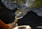 Solstice the olive ridley turtle chomps into nutrient packed gel food at the Oregon Coast Aquarium.jpg