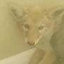 Wild surprise: Man finds coyote pup in his kitchen