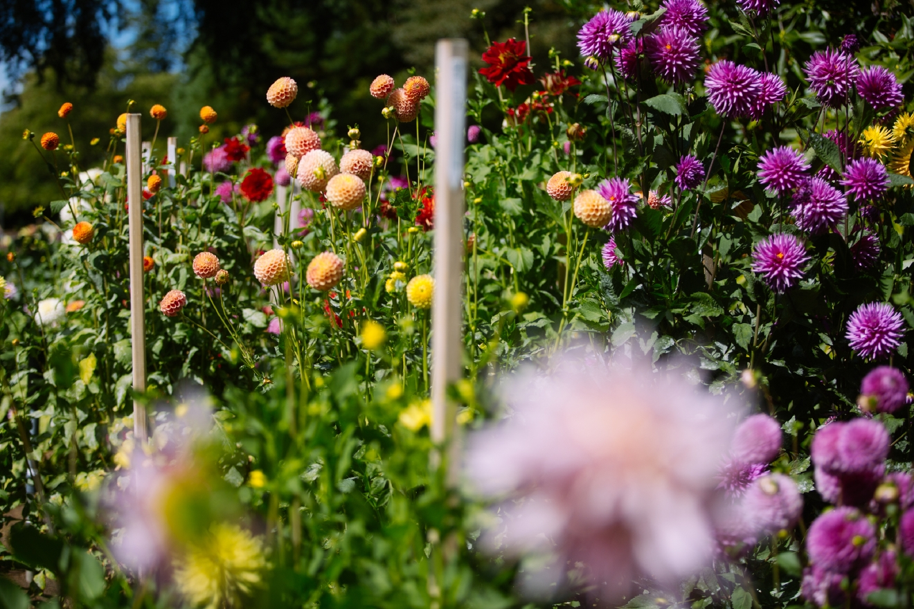 Did you know that the city of Seattle has an official flower? It's the beautiful dahlia, and there is nowhere better to see them than the Volunteer Park Dahlia Garden, and no better time than August - when they're in full bloom. (Joshua Lewis / Seattle Refined)