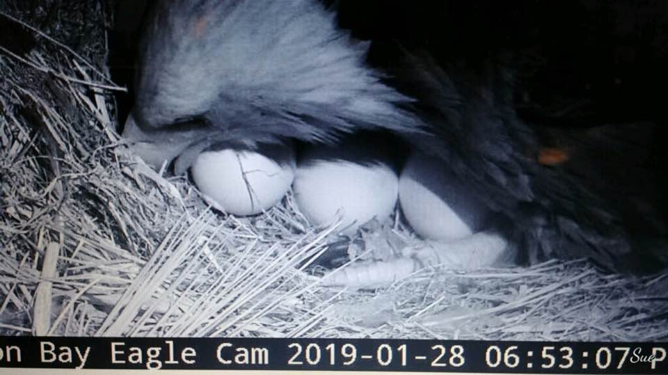 The third egg was laid by the eagle known as Athena on Jan. 28. In rare cases bald eagle pairs can produce up to four eggs, but it is unusual. (Eagle Cam Screen Grab