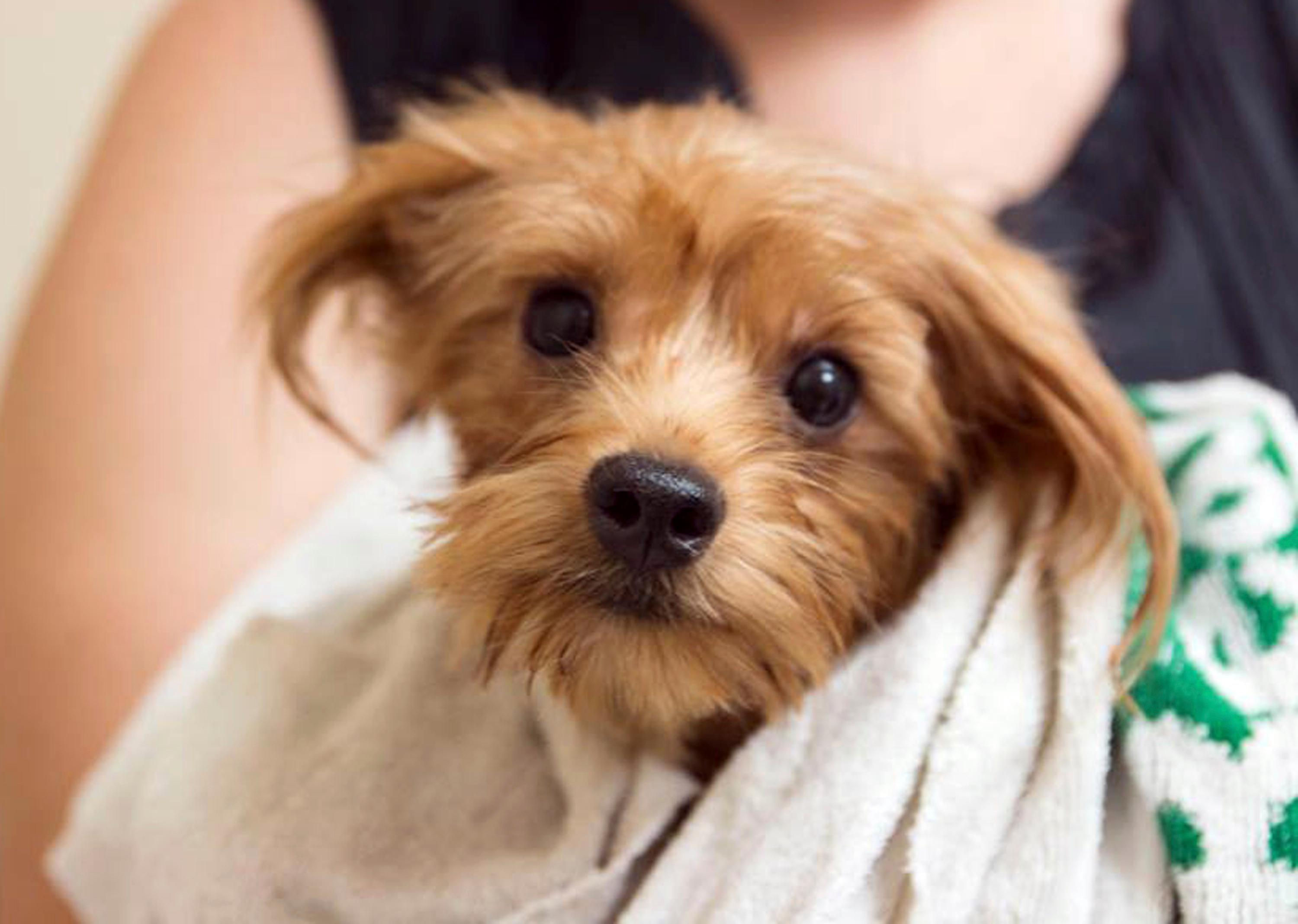 This 2017 photo provided by the San Diego Humane Society shows a groomed dog rescued from a scene where over 170 Yorkshire terrier and Yorkie mix dogs were discovered Jan. 20, 2017, in Poway, Calif. A San Diego County couple has pleaded guilty to hoarding the dogs in filthy conditions, entering pleas Monday, June 12, to animal neglect. They face probation and counseling and can't own pets for a decade. (San Diego Humane Society via AP)