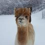 Alpacas enjoy snow after Monday's storm