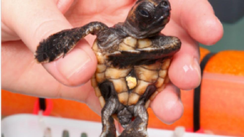 Baby Loggerhead turtle at National Aquarium | WJLA