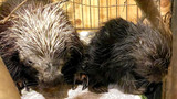 Vets thought a porcupine named Betty White had a tumor, turns out she was pregnant