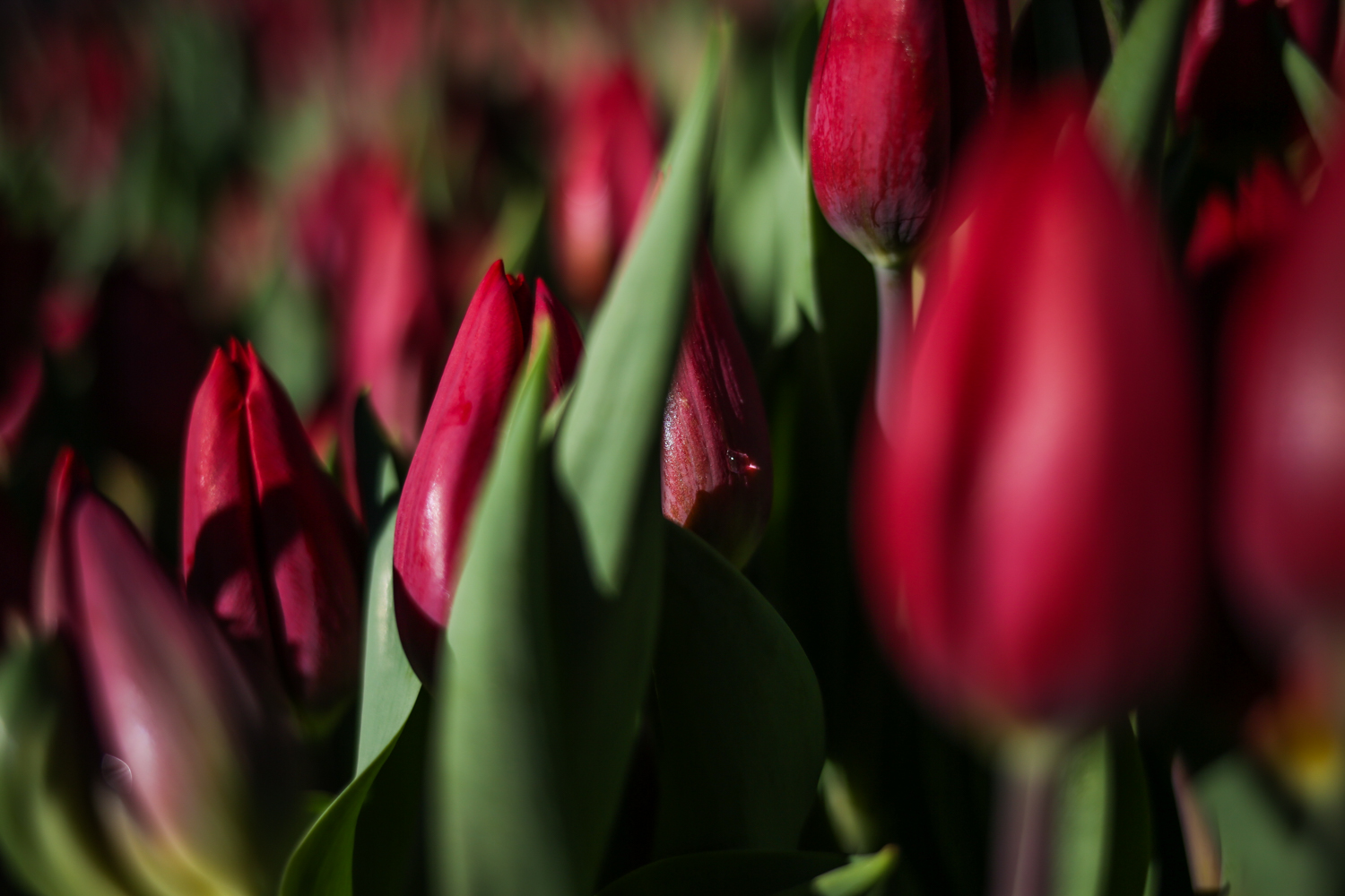The Park at CityCenterDC is filled with 40,000 tulips from Bloomia. Between Friday, March 23 and Saturday, March 24, visitors can take a free stroll through a field of tulips and purchase a bulb for $1 a pop. The proceeds will benefit DC Central Kitchen.{ } If you miss the field, never fear - Bloomia will have a pop-up flower shop on site from March 15-April 15. (Amanda Andrade-Rhoades/DC Refined)