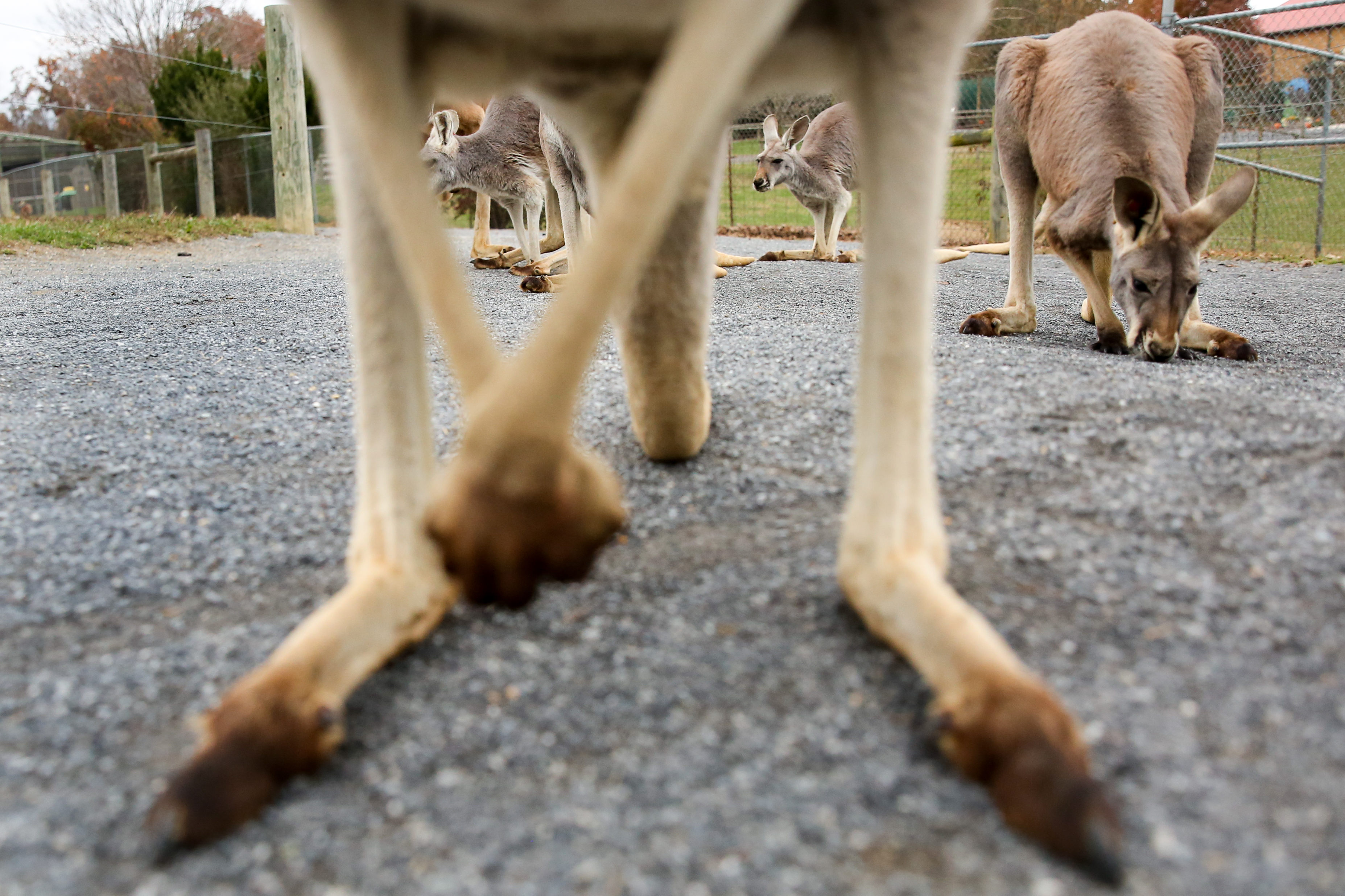 November, 2017. Kangaroos approach the camera at Virginia Safari Park.{&amp;nbsp;} (Amanda Andrade-Rhoades/DC Refined)<p></p>
