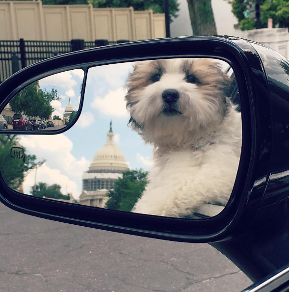 IMAGE: IG user @bentlyindc / POST: Love getting to go to work with dad! #takeyourdogtoworkday #latergram #capitolviews