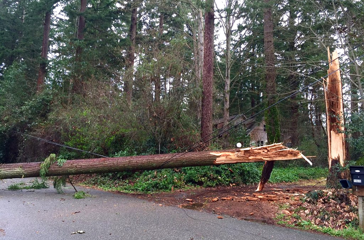 Strong winds brought down this tree on Bainbridge Island, knocking out power in the area. (Photo courtesy of Puget Sound Energy)