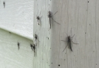 Lake flies gather on the siding of a home near Lake Winnebago in the Town of Neenah May 15, 2017.