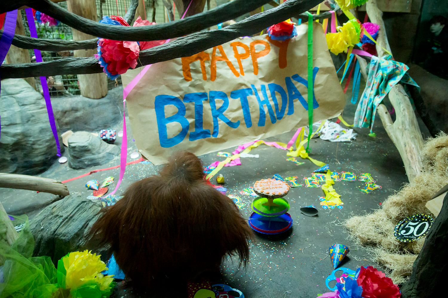 Happy birthday Chinta! The oldest orangutan and animal at the Woodland Park Zoo turned 50-years-old and the public was invited to celebrate! The zoo's food concessionaire whipped up a tasty ginger-carrot cake for Chinta which was devoured quickly. Captain Eric Sano of the Seattle Police Department even paid a visit who named Chinta and her twin brother when he was 6-years old. (Sy Bean / Seattle Refined)