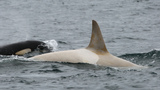 Photos: Extremely rare white Orca spotted in Bering Sea near Russia
