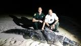Large alligator trapped in Vero Beach
