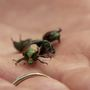 Traps set west of Portland overflow with Japanese beetles