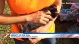 Volunteers round up runaway rabbits dumped in Boynton Beach park
