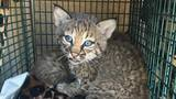 Bobcat kittens mistaken for domestic kittens die at animal sanctuary