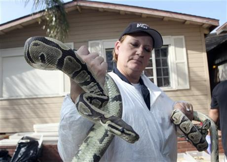 Santa Ana Police Officer Sondra Berg holds a python Wednesday Jan. 29, 2014, after serving a warrant on the home of William Buchman.