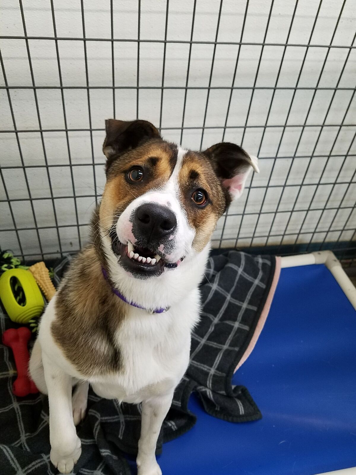 Hi friends, I'm Fritzi – a one year old Australian Cattle Dog mix with a goofy grin! This time around, I'd love to be welcomed inside as part of the family, and I'll return the love tenfold. I can be a bit bashful at first, but I love people, quiet environments and a good routine. New situations and the hustle and bustle of busy streets and hectic life make me nervous. If you're missing a walking or hiking buddy I'm ready for some adventures together! Teens and adults would be my best family members – visit today so I can show you my silly, endearing personality.<p></p>