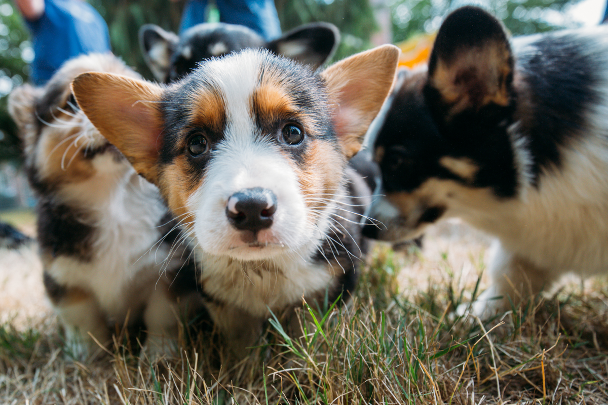 7 Top Tips For Throwing A Grand Party In A Small Home: Photos : Over 150 Corgis At The 2014 Pacific Northwest