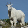 Options for Olympics mountain goats include moving, killing