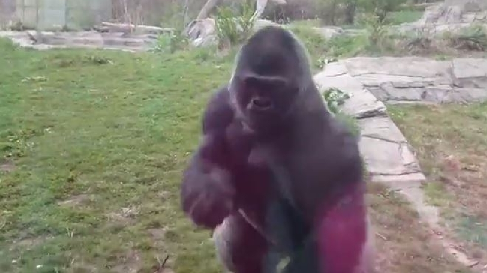 WATCH: Gorilla charges at family, cracks barrier glass | KOKH