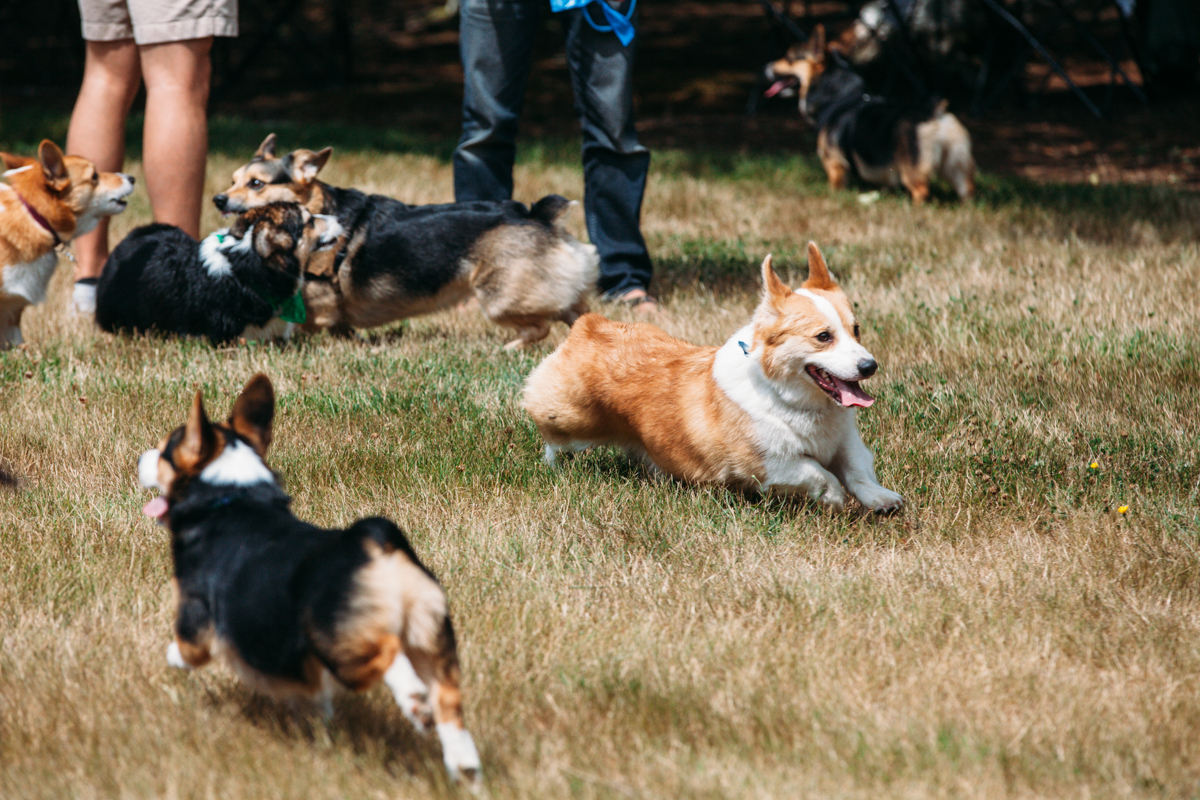 Over 150 corgis and their owners came out to the 2014 Pacific Northwest Corgi Picnic in Woodinville, WA. Kathy and Leo Notenboom hosted the annual event at their home which raised over $2000 for CorgiAid, a not-for-profit corgi assistance organization. You can find out when the next Corgi Meet up is at the corgi meet up group here. August 2nd 2014. (Joshua Lewis / Seattle Refined)
