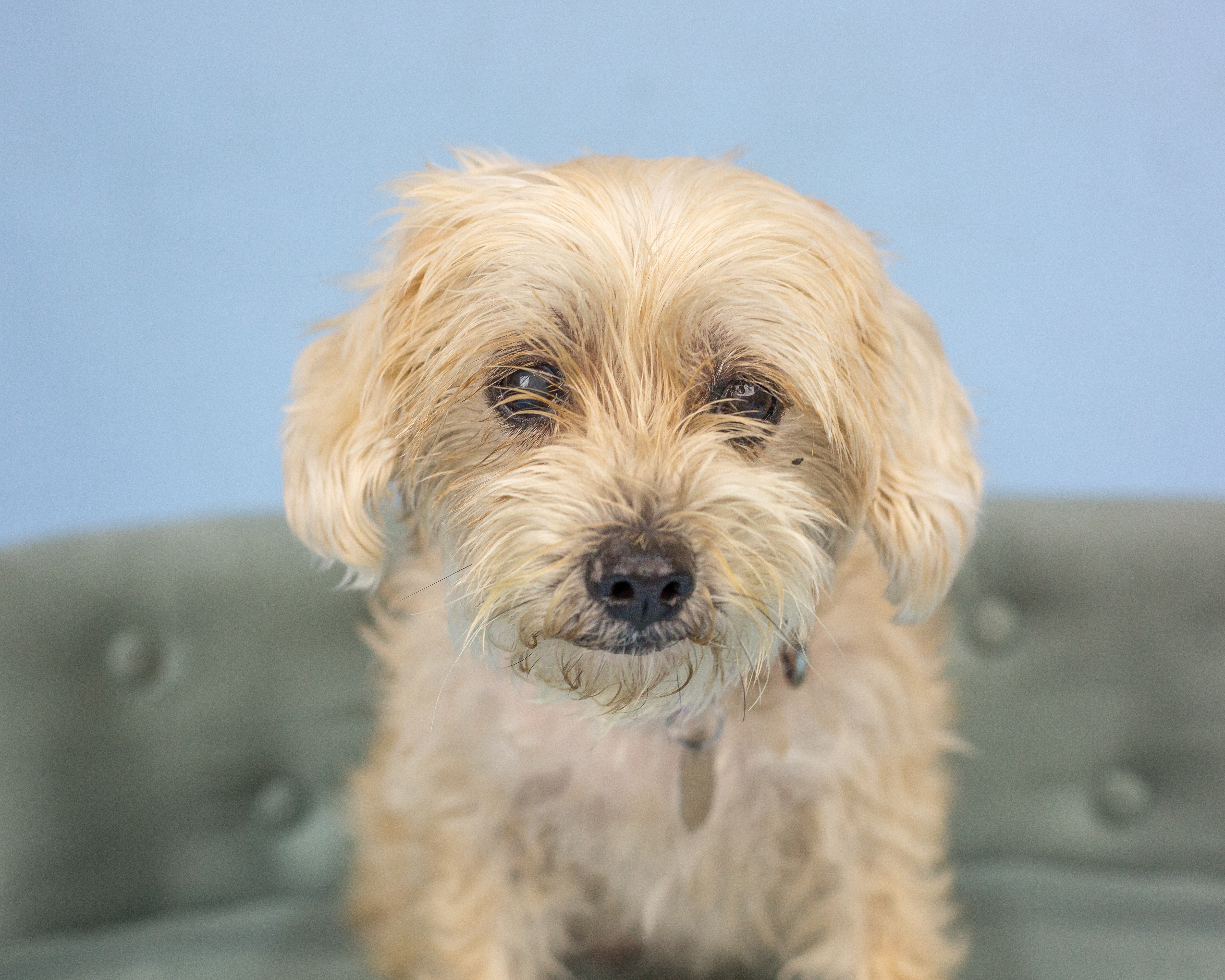 Hello, my name is Casey. I'm a delightful nine-year-old Maltese terrier mix hoping to start a new adventure with you! I've done well living with mellow dogs before, and older kids will be a good match for me so I'm handled gently and given plenty of love and affection. I will give it back tenfold!