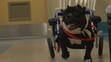 Dog in wheelchair searching for forever home
