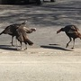 Turkeys cause concern in Ashwaubenon neighborhoods