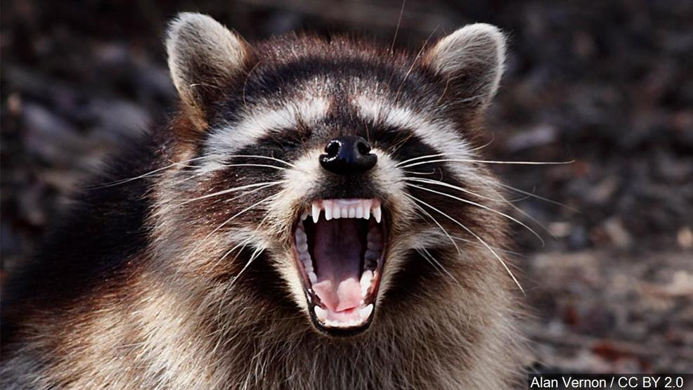 rabid raccoon captured in dc after attacking 3 people in chevy chase