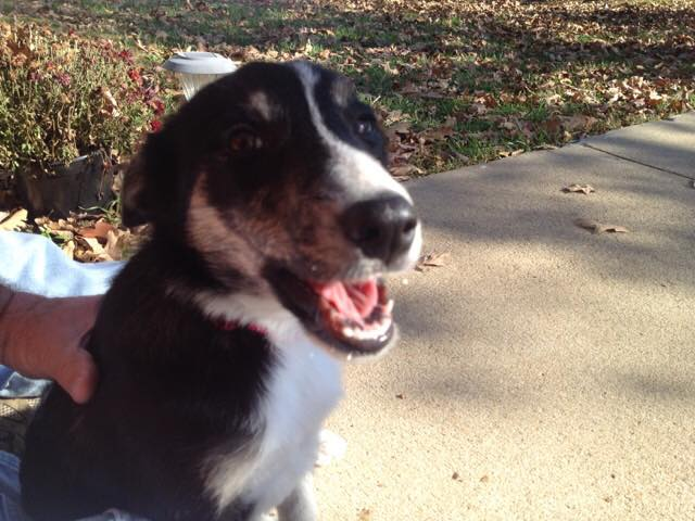 "<p>NAME: MISSY</p><p>BREED: BORDER COLLIE</p><p>MISSING SINCE: JULY 2016</p><p>WENT MISSING FROM: RUSSELLVILLE</p><p>""She never ventured out of my yard. We have goats and her ""job"" was to watch them all day long. She never left the area they are in. I believe she was stolen."" -Dwayne Blackwell, Owner</p>"