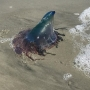 SCDNR: Portuguese Man O' War on shores of South Carolina