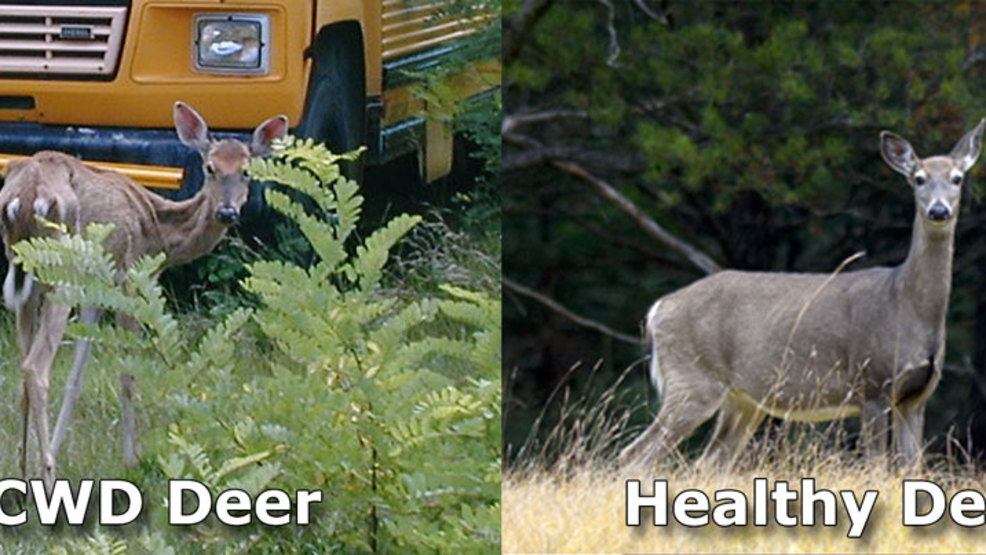 CWD+deer+-+healthy+deer+comparison.jpg