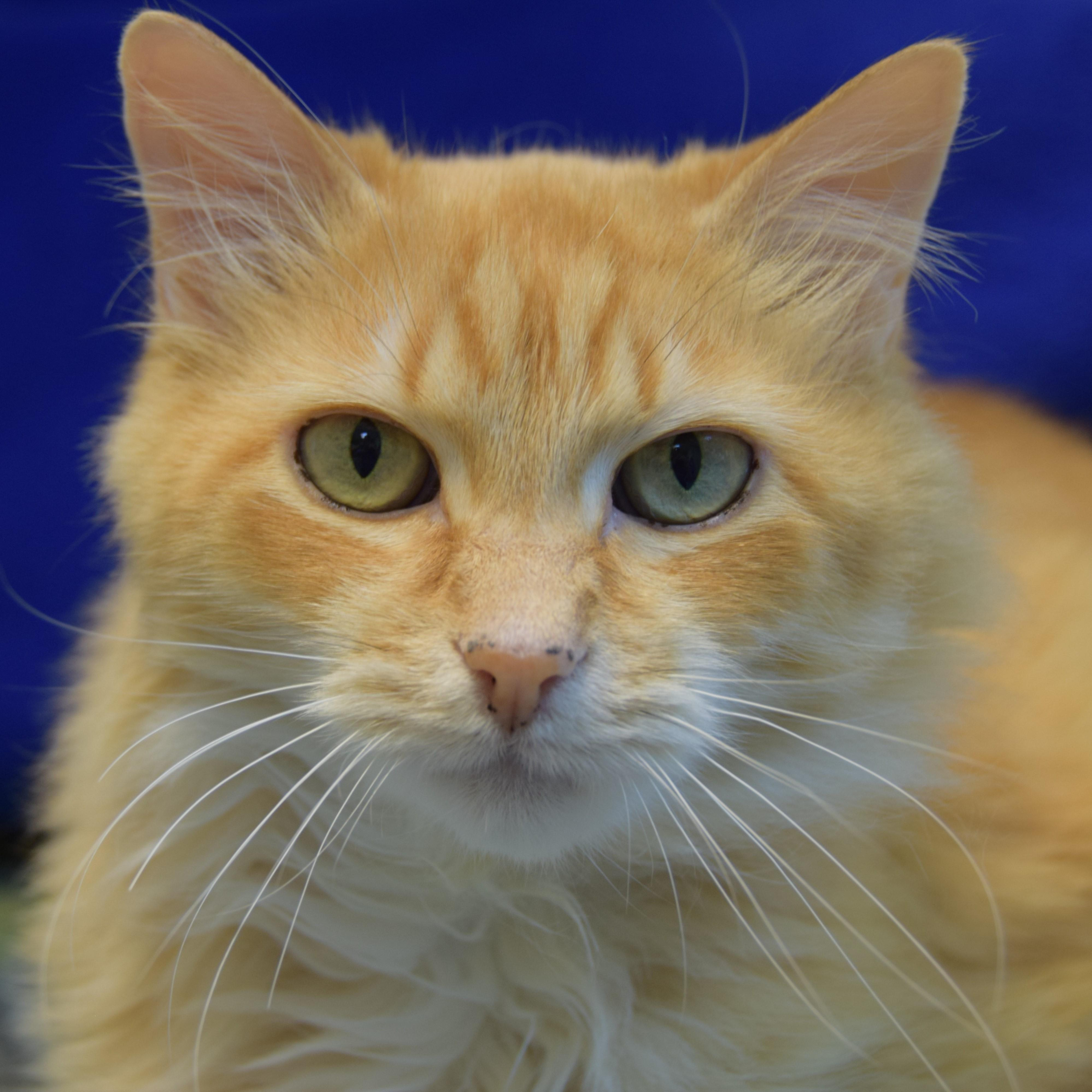 Greetings! I'm Chester, a 10-year-old domestic long-haired boy with a lot of stories to share! I'm described as an old, quiet soul and I can't wait to join your quiet, calm home with older teens and adults to match. Come say hi today – I want to charm my way into your heart!