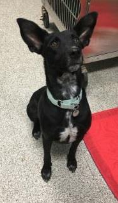 Shelby is a super cool doggy ready for run! This active girl will make a great running or hiking buddy, and is always up for adventure.{ } More info on the 2-year-old Border Collie Mix at paws.org. (Image: PAWS)