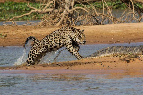 Reaching the sandbar, the big cat rose slowly out of the water, and then suddenly pounced on the caiman.