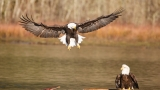 2 bald eagles released in Pacific Northwest after rehab