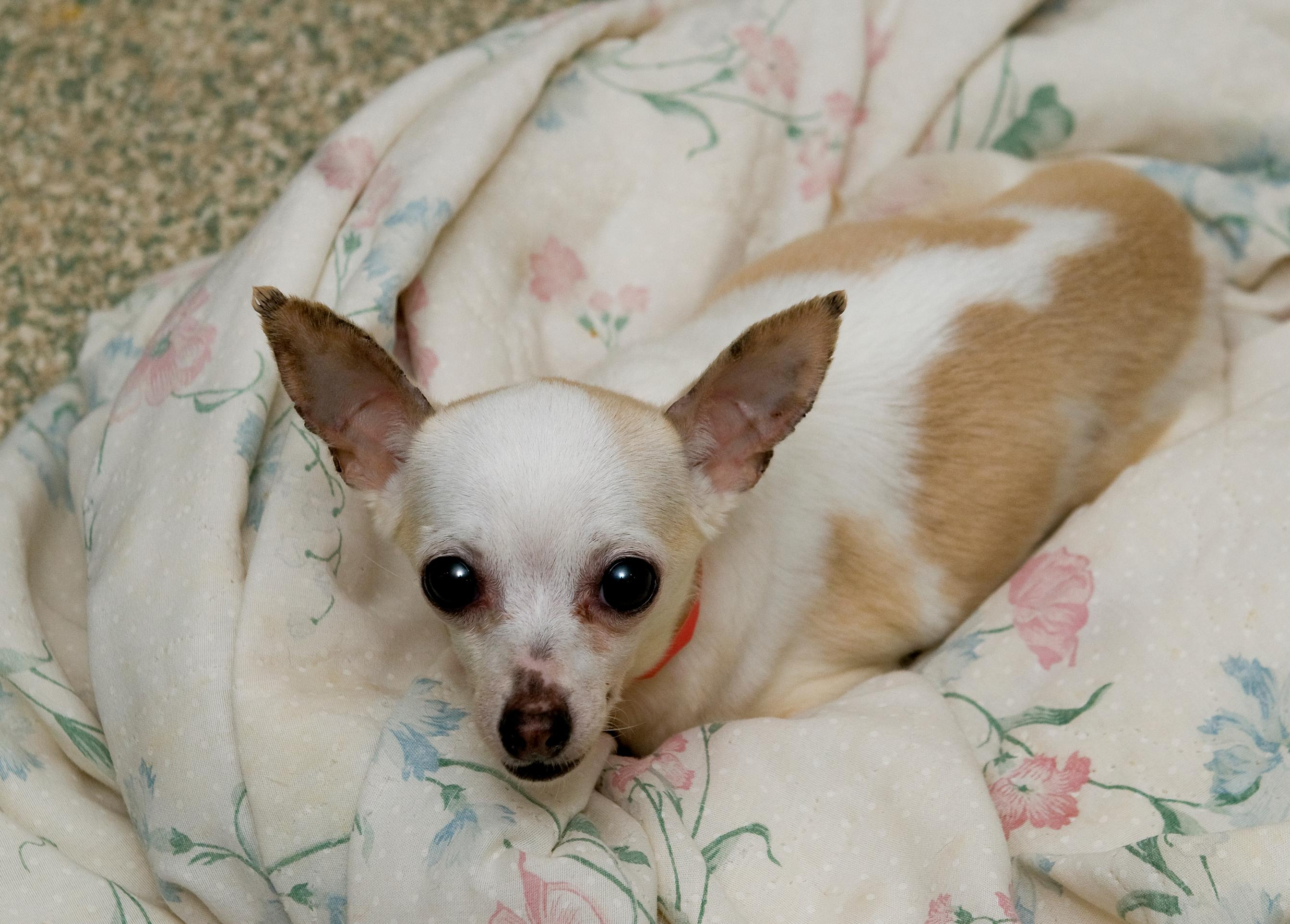 This 8-year-old petite lady would love to find a forever lap to sleep in! Calm and a bit shy, yet still charming, little Roxanne is searching for a patient owner with a relaxed lifestyle. (Humane Rescue Alliance)