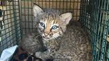 Family suffers bites after mistaking bobcat kittens for domestic kittens