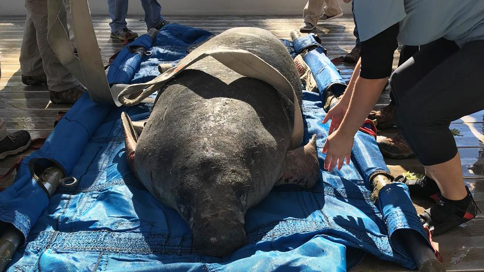 Manatee Rescued From Cooper River After Getting Caught In Man Made