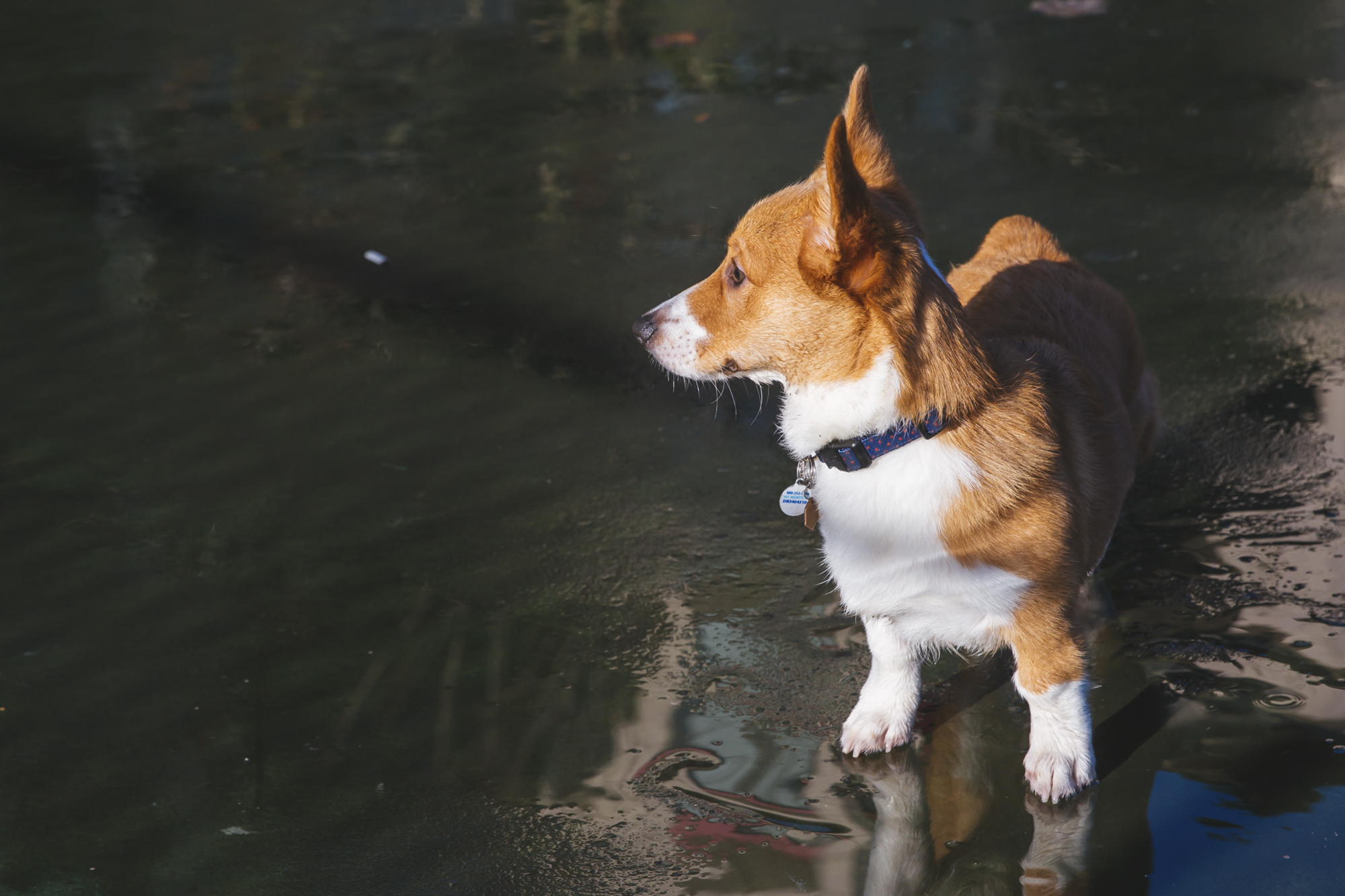 <p>Meet Floyd the six month old Pembroke Welsh Corgi! Floyd likes snuggles, food and dogs. He dislike sirens, dogs on the TV, and rain! You can follow Floyd's journey through life on his Instagram page @floyd_corgi.{&amp;nbsp;}The Seattle RUFFined Spotlight is a weekly profile of local pets living and loving life in the PNW. If you or someone you know has a pet you'd like featured, email us at hello@seattlerefined.com or tag #SeattleRUFFined and your furbaby could be the next spotlighted! (Image: Sunita Martini / Seattle Refined).</p>
