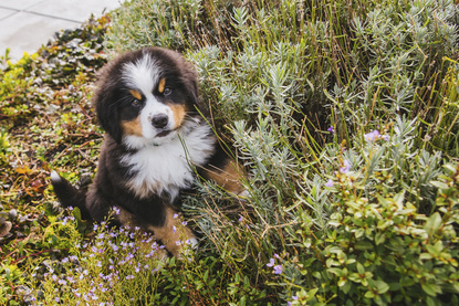 Ruffined Spotlight Linda The Bernese Mountain Dog Seattle