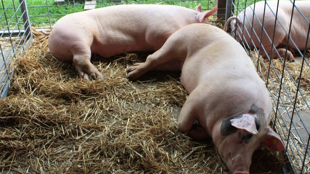 Ohio County Fair Hogs To Be Destroyed After Swine Flu