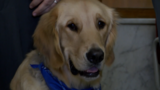 Meet Ezra: the golden retriever comfort dog brought into the Lucas County Courthouse